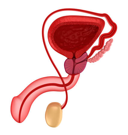 Male reproductive system  Stock Photo - 18849004