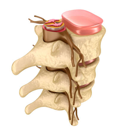 lumbar: Human spine in details Stock Photo