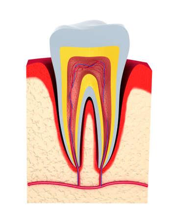 vaisseaux sanguins: Section de la pulpe dentaire avec les nerfs et les vaisseaux sanguins