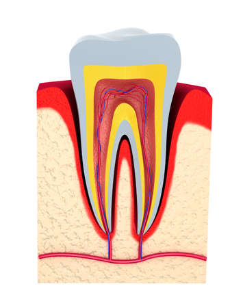 dental pulp: Section of the tooth  pulp with nerves and blood vessels