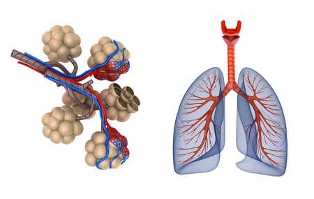 Alvéolos nos pulmões - sangue saturando por oxigênio