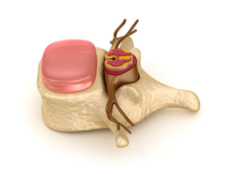 columna vertebral: Columna vertebral humana en detalles