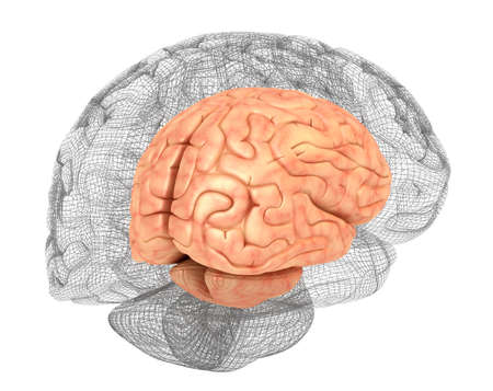 Human brain and 3D model Stock Photo