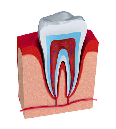 vaisseaux sanguins: Section de la dent. la p�te avec les nerfs et les vaisseaux sanguins. Banque d'images