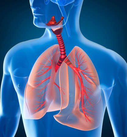 bronchial: Anatomy of human respiratory system
