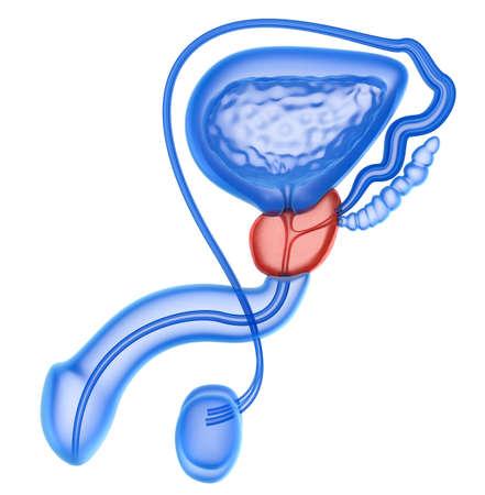 Prostaat en mannelijke voortplantingssysteem op wit wordt geïsoleerd Stockfoto