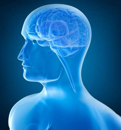 cerebral cortex: Human head and brain in xray