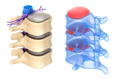 medula espinal: Columna vertebral aislada en blanco Foto de archivo