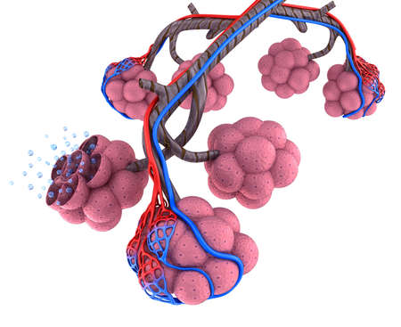bronchiole: Alveoli in lungs blood saturating by oxygen
