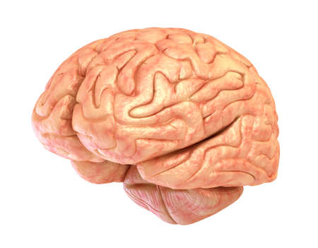 Human brain model isolated