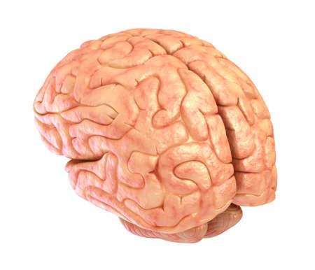 cerebra: Human brain model isolated