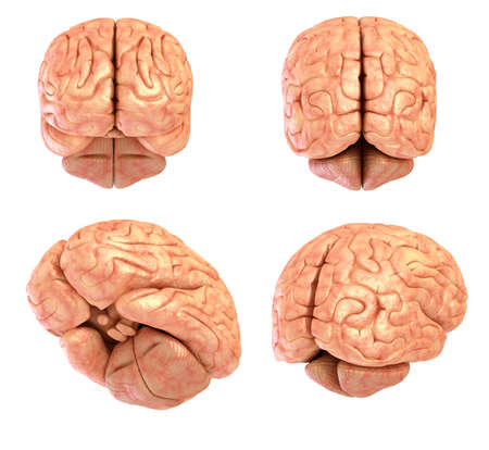 cortex: Human brain model isolated