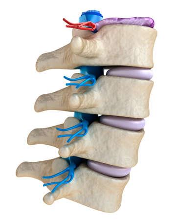 Rückenmark unter dem Druck der gewölbten Scheibe Standard-Bild - 41248589