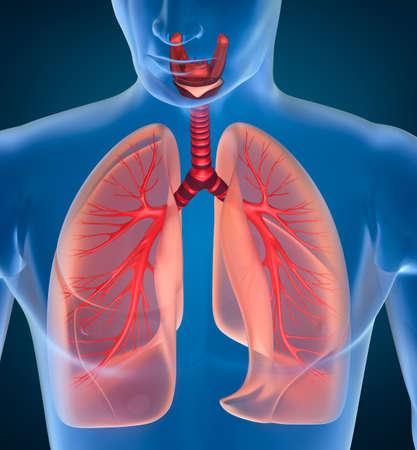 Anatomy of human respiratory system photo