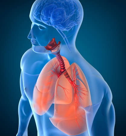 alveolos: Anatom�a del sistema respiratorio humano