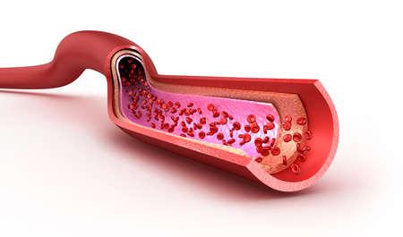 globulos blancos: Vasos sanguíneos en lonchas macro con eritrocitos. Aislados en blanco