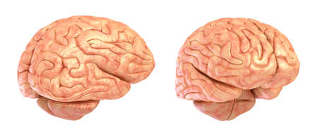 pons: Human brain 3D model, isolated Stock Photo