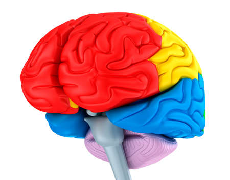 cerebra: Brain lobes in different colors. Isolated on white.