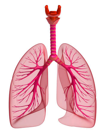 Lungs - pulmonary system. Front view, isolated on white Stock Photo