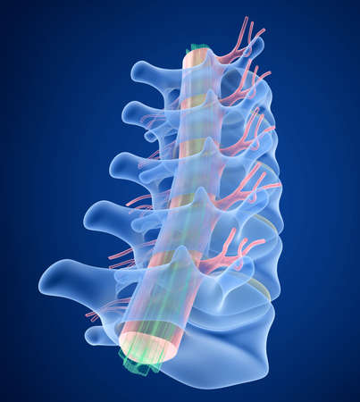 sacral spine: Human Spine x-ray view, 3D render Stock Photo