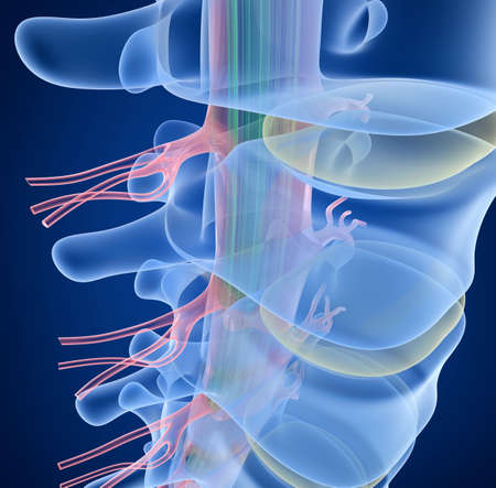 Human Spine x-ray view, 3D render Фото со стока
