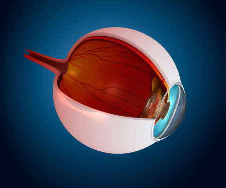 macula: Eye anatomy - inner structure isolated on white