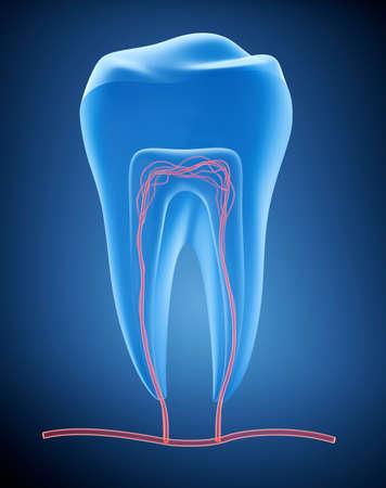 dental pulp: Anatomy of healthy teeth in details. , X-ray view