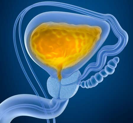尿と膀胱。膀胱の断面図。X 線で見た