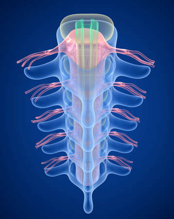 Spinal cord under pressure of bulging disc, X-Ray view. 3D illustration