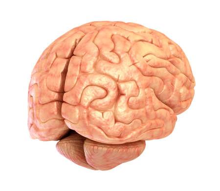 thalamus: Human brain 3D model, isolated Stock Photo