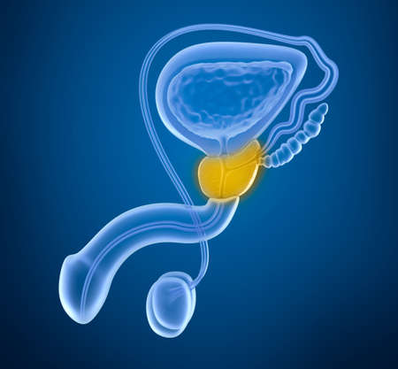 male sperm: Prostate and male reproductive system, x-ray view