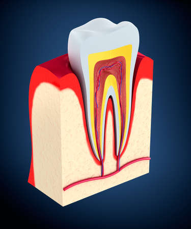 cross cut: Section of the tooth. pulp with nerves and blood vessels.