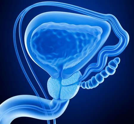 前立腺と男性生殖器系、ビューの 3 D レンダリングを x 線