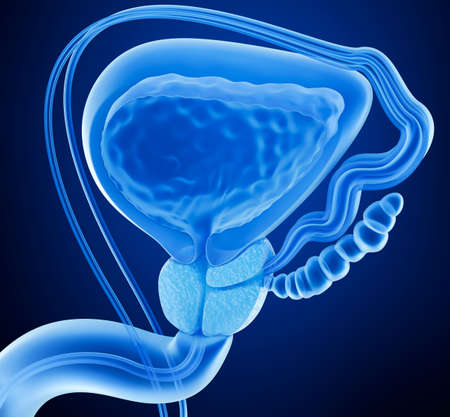 Prostate and male reproductive system, x-ray view 3D rendering 스톡 콘텐츠