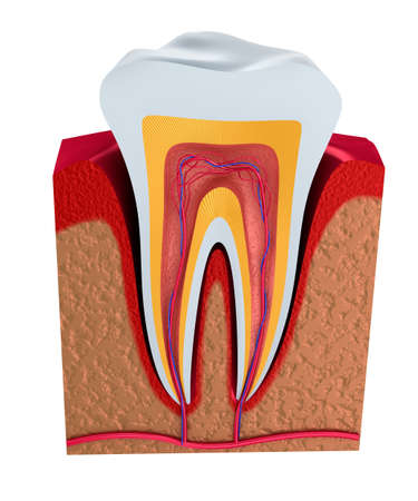 cementum: Digital illustration of teeth cross section in isolated background Stock Photo