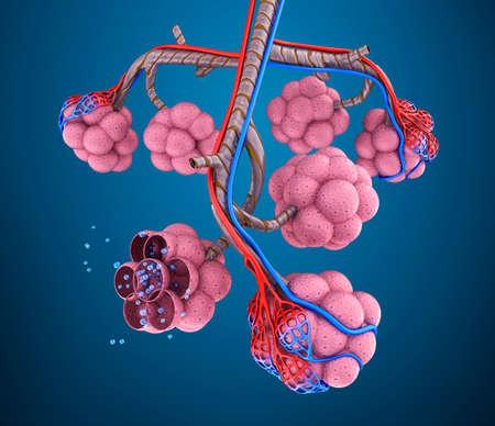 alveolos pulmonares: Alvéolos: natomy del sistema respiratorio humano - sangre que satura por el oxígeno Foto de archivo