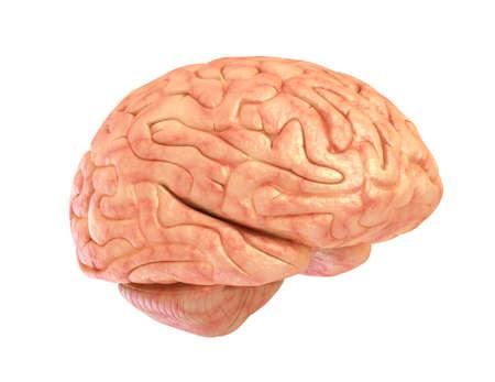 thalamus: Human brain 3D model, isolated on white