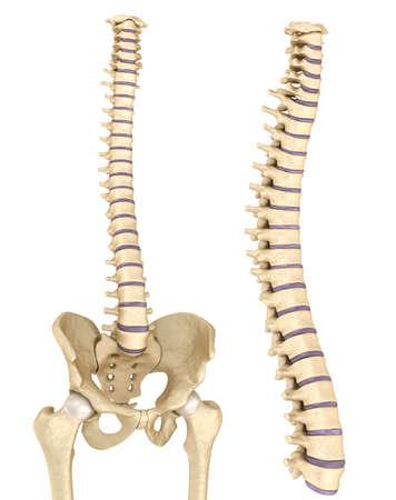 medula espinal: La columna vertebral y la pelvis