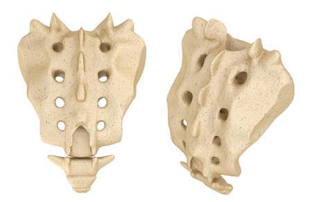 sacrum: Sacrum: Medically accurate 3D illustration