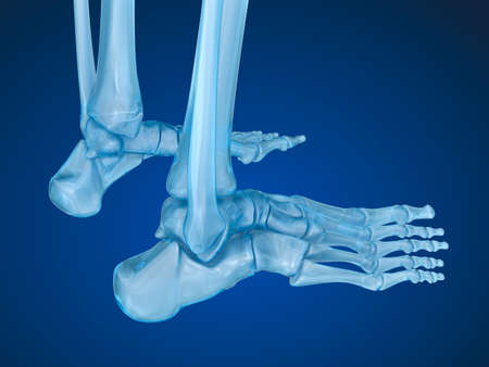 Human Skeleton Skeletal Foot Medically Accurate 3d Illustration