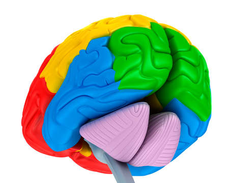 Brain lobes in different colors isolated on white. Medical accurate 3D illustration Stock Photo