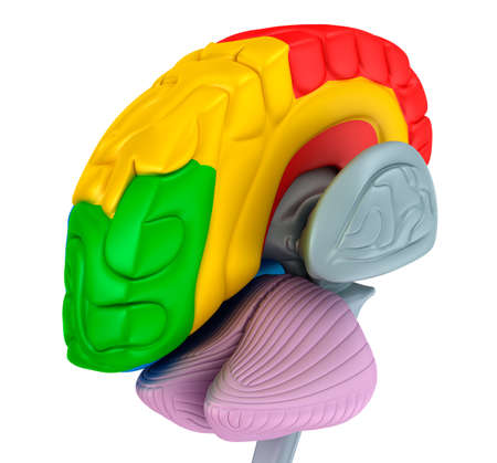 parietal: Brain lobe and cerebellum, isolated on white. Medical accurate 3D illustration