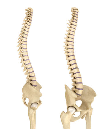 Spinal cord and pelvis. Medical accurate 3D illustration