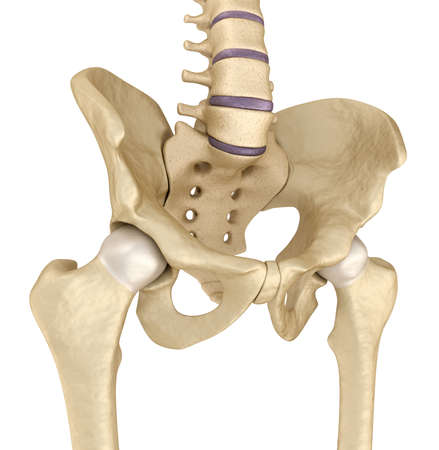 rump: Medical accurate illustration: Pelvic area anatomy, 3d render