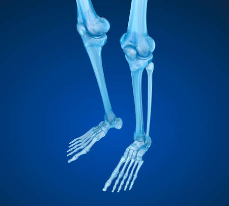 skeletal muscle: Human skeleton: Knee joint. Medically accurate 3D illustration Stock Photo