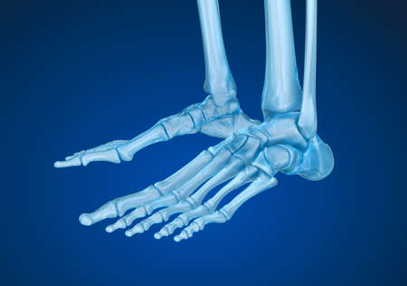 navicular: Human skeleton: skeletal foot. Medically accurate 3D illustration