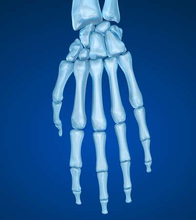 Anatomía De La Muñeca Humana. Ilustración Médica Precisa En 3D Fotos ...