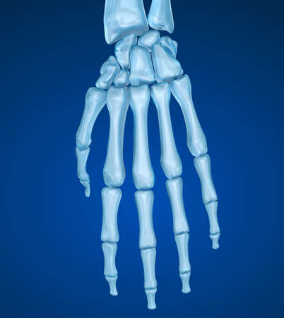 dorsal: Human wrist anatomy. Medically accurate 3D illustration