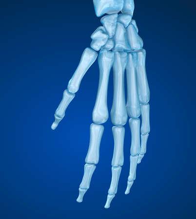 Anatomía De La Muñeca Humana. Vista De La Radiografía. Ilustración ...