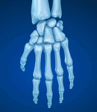 human wrist: Human wrist anatomy. Medically accurate 3D illustration